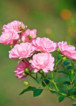 tuinplant_vd_maand_mei_roos